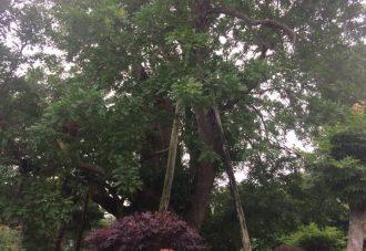 サイカチの木